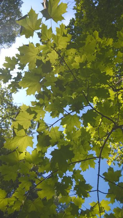 Под листьями клена
