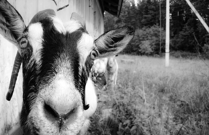 глаза козы фото