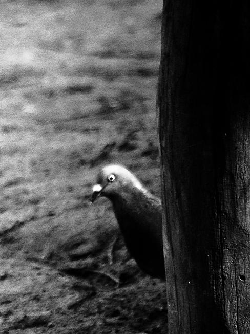 фото птицы голубь